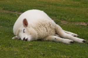 Cool-Animal-Sheep-Sleeping-520x347