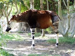 A gazelle on its way to becoming a zebra