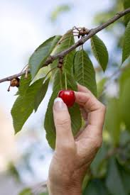 cherry-picking