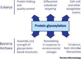 glycosylation