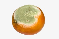 Penicillium on orange