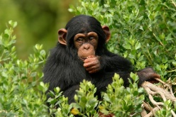 Common_chimp_624